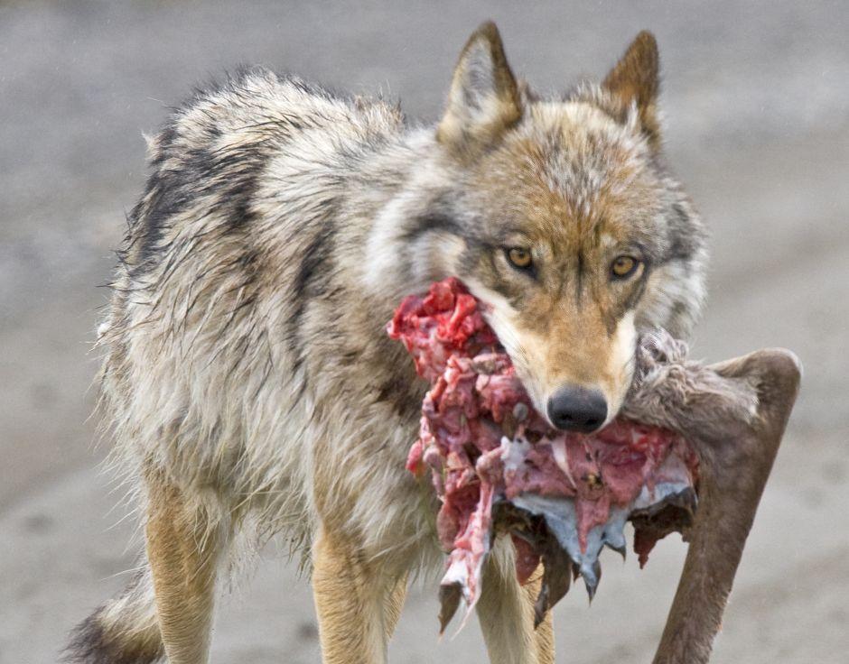 защитные шкуры пожалуйста фотографии с волками такое стс